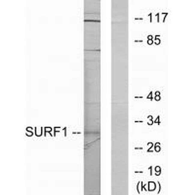 SURF1 Rabbit anti-Human, Mouse, Rat, Polyclonal, Invitrogen 100 µL;