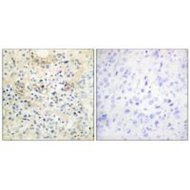 ANO7 Rabbit anti-Human, Polyclonal, Invitrogen 100 µL; Unconjugated