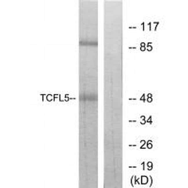 TCFL5 Rabbit anti-Human, Mouse, Polyclonal, Invitrogen 100 µL; Unconjugated