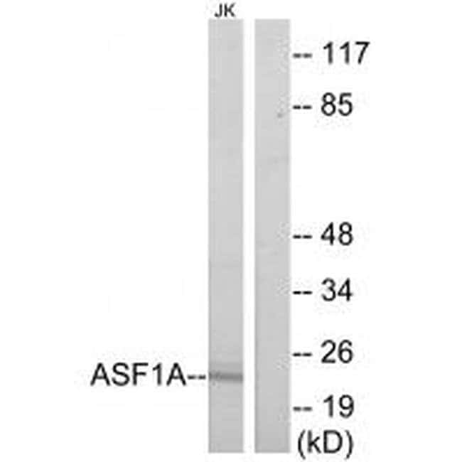 ASF1A Rabbit anti-Human, Mouse, Polyclonal, Invitrogen 100 µL; Unconjugated