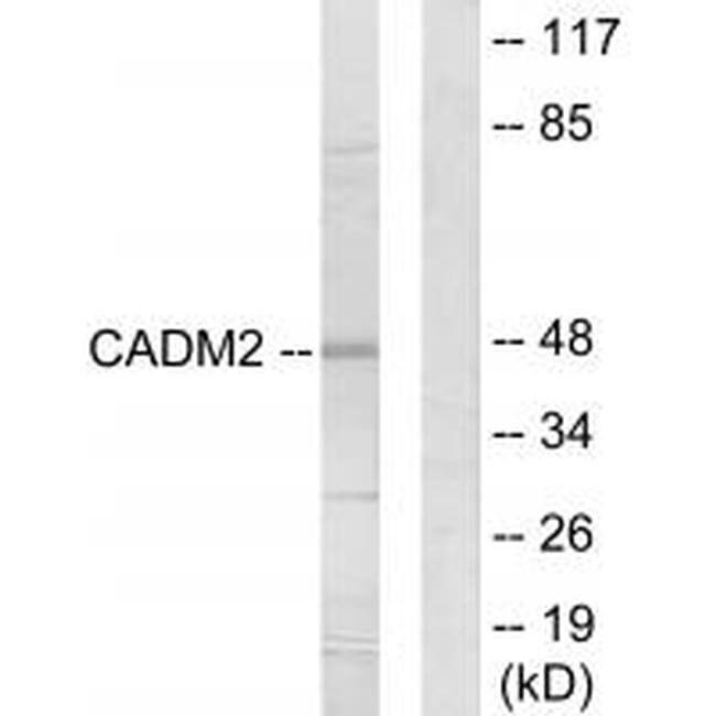 CADM2 Rabbit anti-Human, Mouse, Rat, Polyclonal, Invitrogen 100 µL;