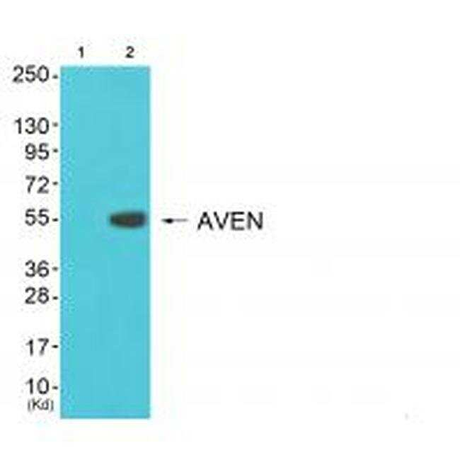 COX17 Rabbit anti-Human, Mouse, Rat, Polyclonal, Invitrogen 100 µL;