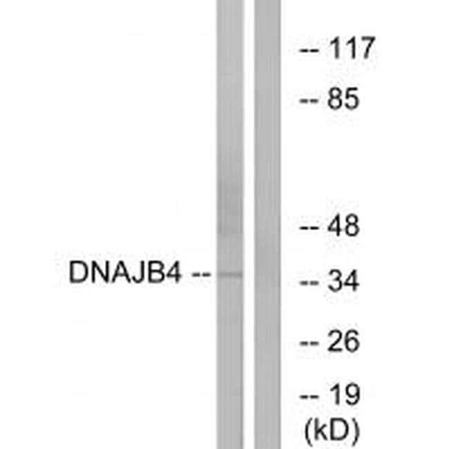 DNAJB4 Rabbit anti-Human, Mouse, Rat, Polyclonal, Invitrogen 100 µL;