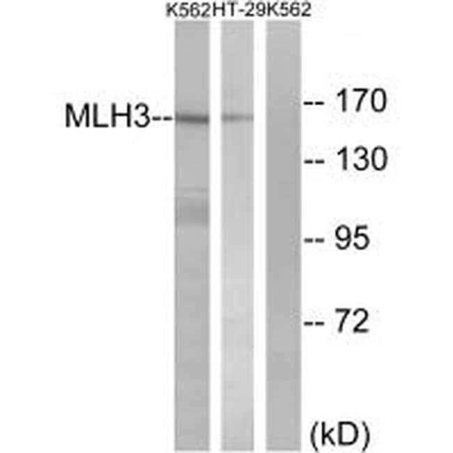 MLH3 Rabbit anti-Human, Polyclonal, Invitrogen 100 µL; Unconjugated