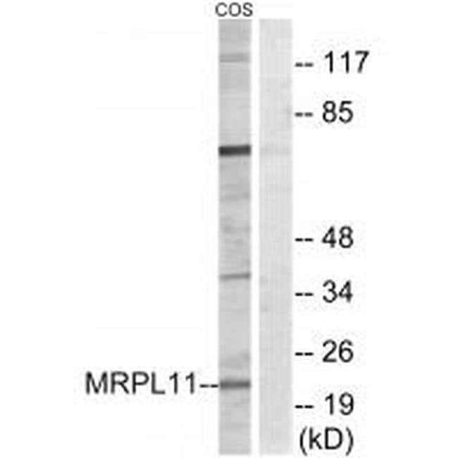 MRPL11 Rabbit anti-Human, Polyclonal, Invitrogen 100 µL; Unconjugated