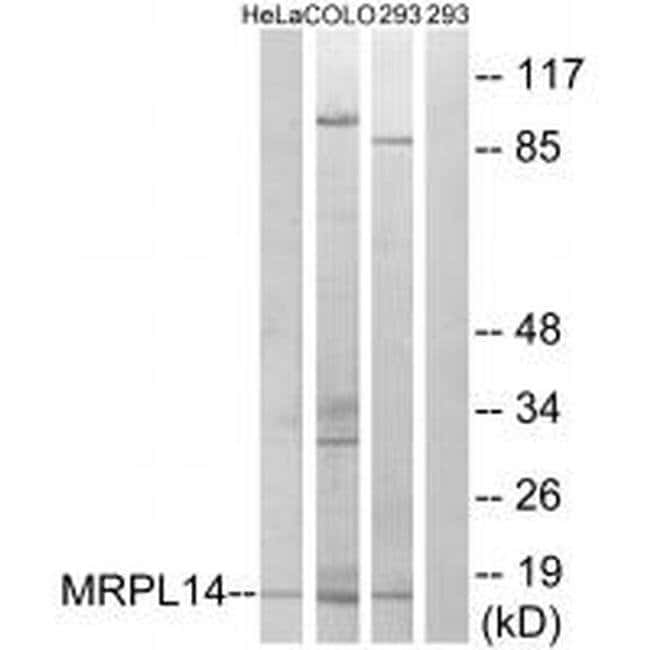MRPL14 Rabbit anti-Human, Mouse, Rat, Polyclonal, Invitrogen 100 µL;