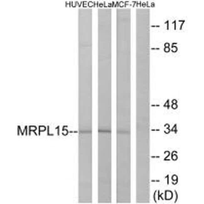 MRPL15 Rabbit anti-Human, Mouse, Polyclonal, Invitrogen 100 µL; Unconjugated