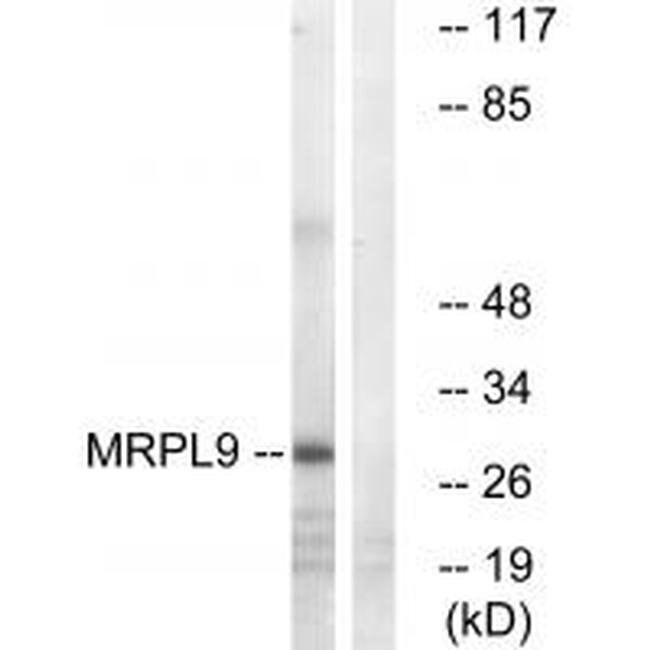 MRPL9 Rabbit anti-Human, Mouse, Rat, Polyclonal, Invitrogen 100 µL;