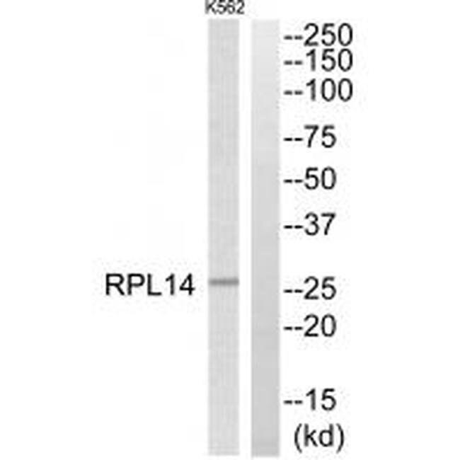 RPL14 Rabbit anti-Human, Polyclonal, Invitrogen 100 µL; Unconjugated