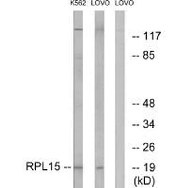 RPL15 Rabbit anti-Human, Mouse, Rat, Polyclonal, Invitrogen 100 µL;