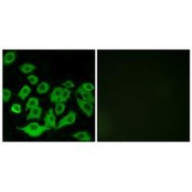RPL36 Rabbit anti-Human, Polyclonal, Invitrogen 100 µL; Unconjugated