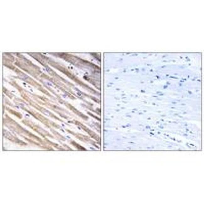 RPL3L Rabbit anti-Human, Polyclonal, Invitrogen 100 µL; Unconjugated