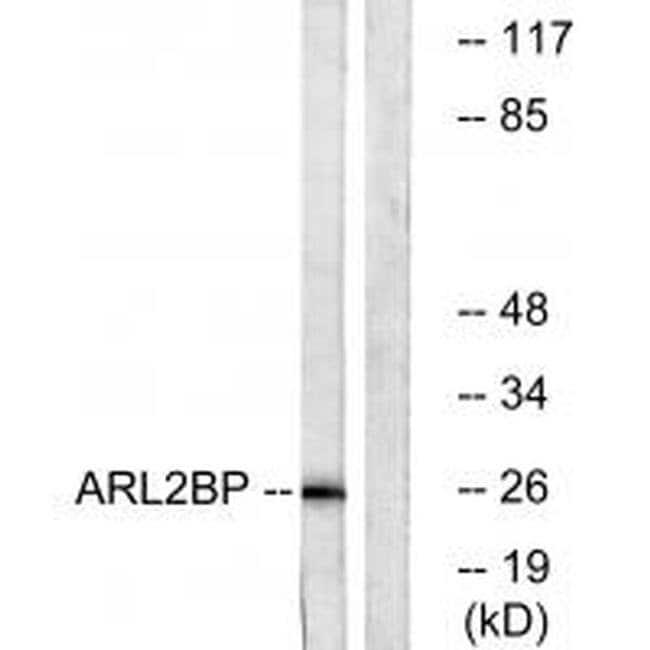 ARL2BP Rabbit anti-Human, Mouse, Rat, Polyclonal, Invitrogen 100 µL;
