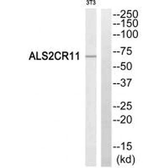 ALS2CR11 Rabbit anti-Human, Mouse, Polyclonal, Invitrogen 100 µL;