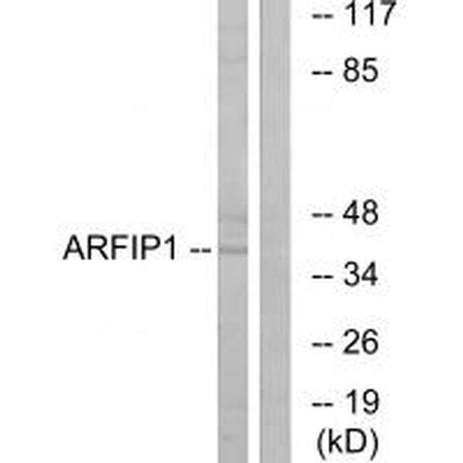 Arfaptin 1 Rabbit anti-Human, Mouse, Rat, Polyclonal, Invitrogen 100 µL;