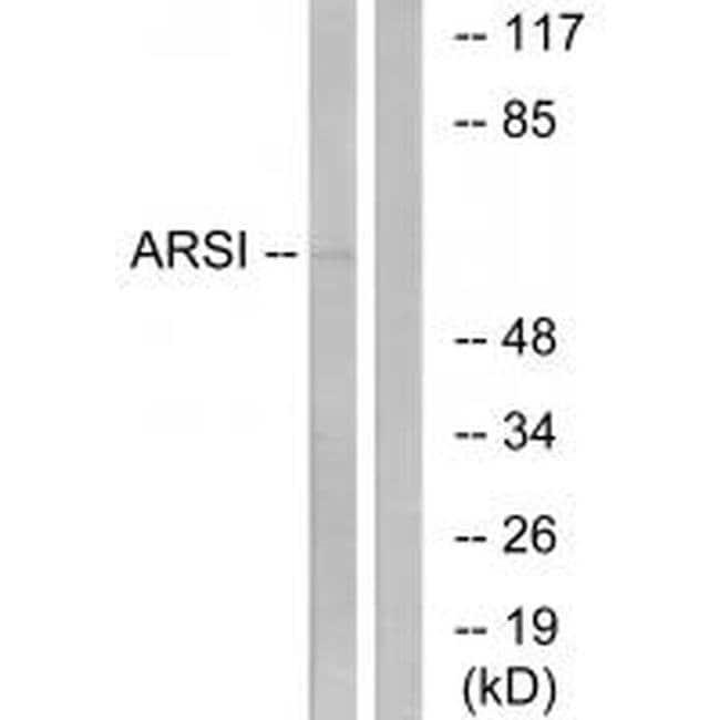ARSI Rabbit anti-Human, Polyclonal, Invitrogen 100 µL; Unconjugated