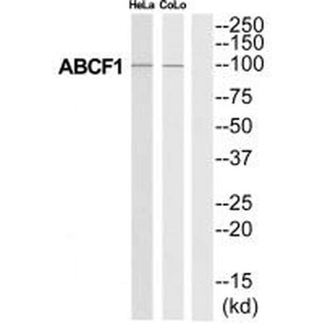 ABCF1 Rabbit anti-Human, Mouse, Rat, Polyclonal, Invitrogen 100 µL;