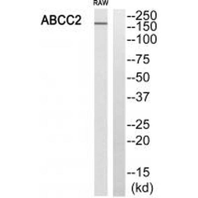 MRP2 Rabbit anti-Human, Mouse, Polyclonal, Invitrogen 100 µL; Unconjugated