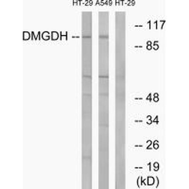DMGDH Rabbit anti-Human, Polyclonal, Invitrogen 100 µL; Unconjugated