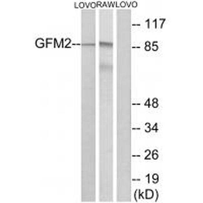 GFM2 Rabbit anti-Human, Mouse, Polyclonal, Invitrogen 100 µL; Unconjugated