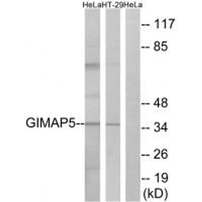 GIMAP5 Rabbit anti-Human, Polyclonal, Invitrogen 100 µL; Unconjugated