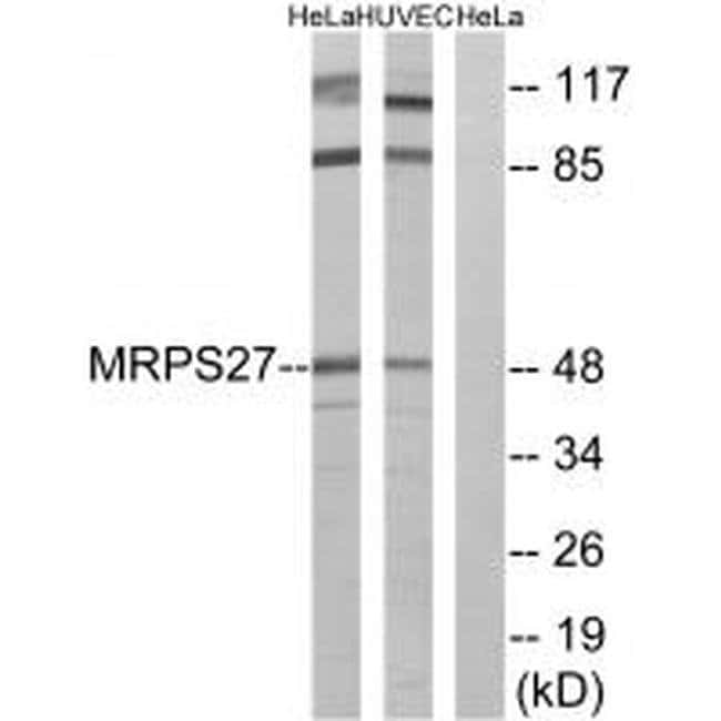 MRPS27 Rabbit anti-Human, Mouse, Polyclonal, Invitrogen 100 µL; Unconjugated