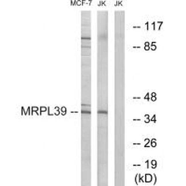 MRPL39 Rabbit anti-Human, Mouse, Polyclonal, Invitrogen 100 µL; Unconjugated