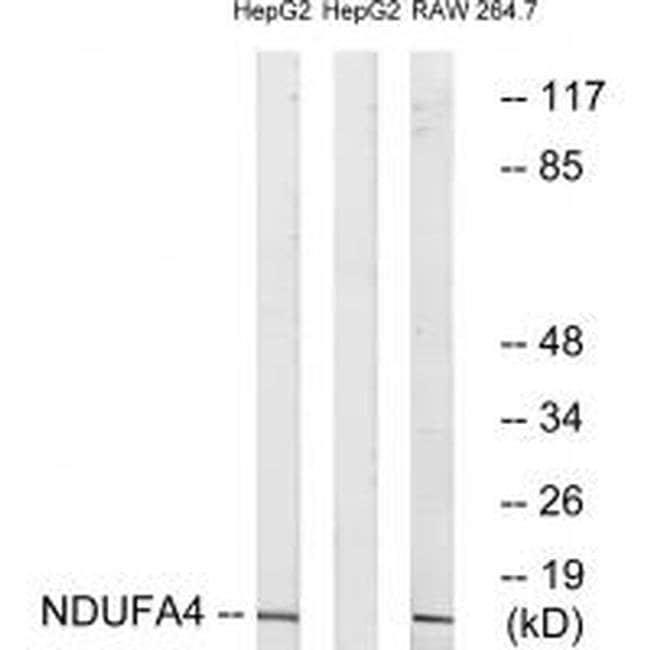 NDUFA4 Rabbit anti-Human, Mouse, Polyclonal, Invitrogen 100 µL; Unconjugated