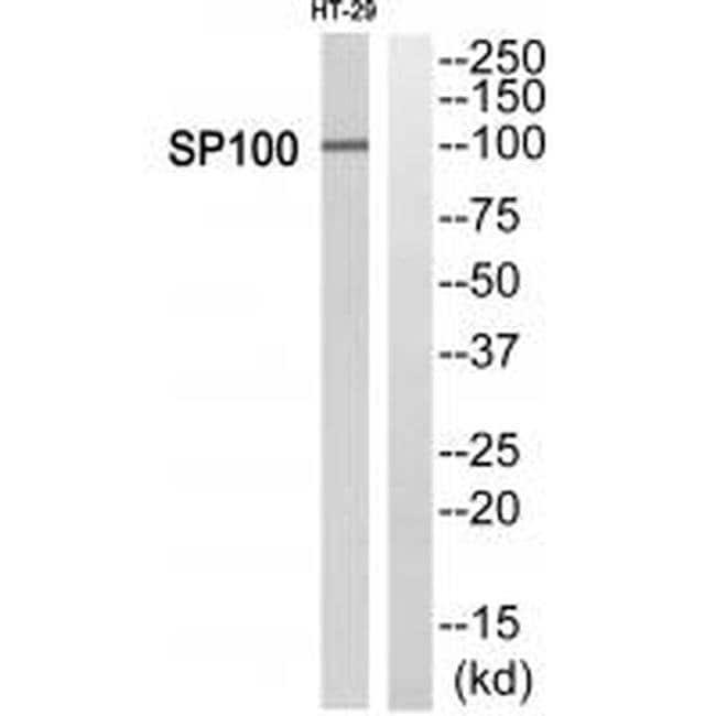 SP100 Rabbit anti-Human, Polyclonal, Invitrogen 100 µL; Unconjugated