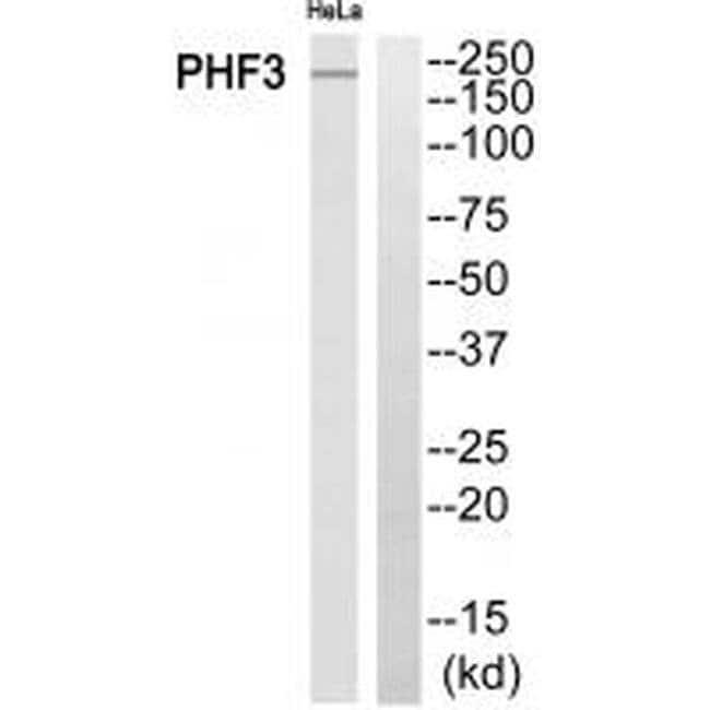 PHF3 Rabbit anti-Human, Polyclonal, Invitrogen 100 µL; Unconjugated