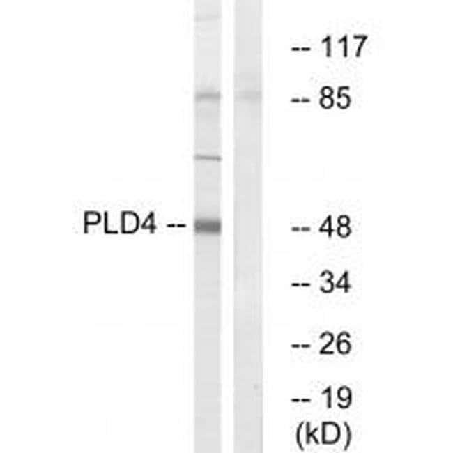 PLD4 Rabbit anti-Human, Mouse, Rat, Polyclonal, Invitrogen 100 µL;