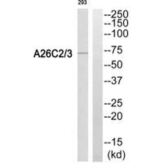 A26C2/A26C3 Rabbit anti-Human, Polyclonal, Invitrogen 100 µL; Unconjugated