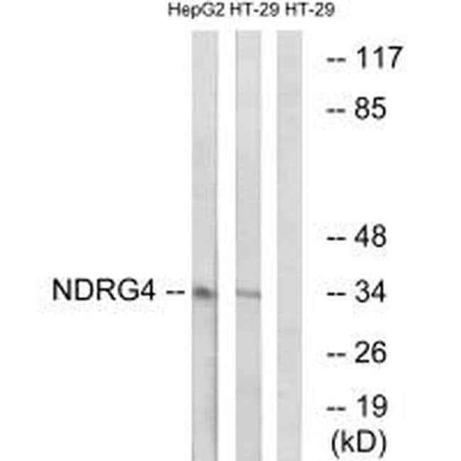 NDRG4 Rabbit anti-Human, Mouse, Rat, Polyclonal, Invitrogen 100 µL;