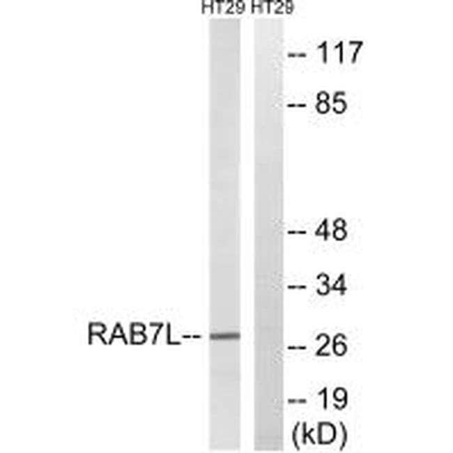 RAB29 Rabbit anti-Human, Mouse, Polyclonal, Invitrogen 100 µL; Unconjugated