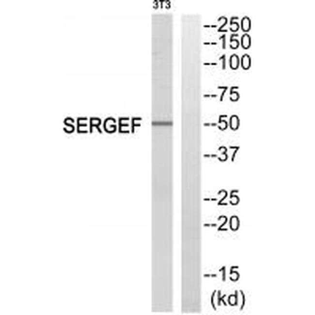 SERGEF Rabbit anti-Human, Mouse, Polyclonal, Invitrogen 100 µL; Unconjugated