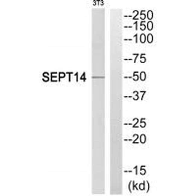 Septin-14 Rabbit anti-Human, Mouse, Polyclonal, Invitrogen 100 µL;