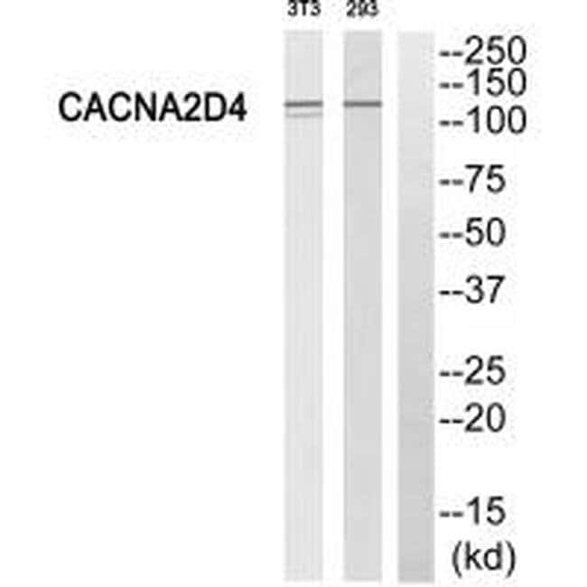 CACNA2D4 Rabbit anti-Human, Mouse, Polyclonal, Invitrogen 100 µL;