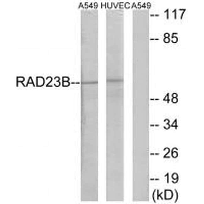 RAD23B Rabbit anti-Human, Mouse, Rat, Polyclonal, Invitrogen 100 µL;