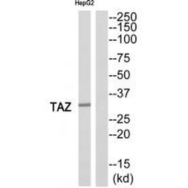 TAZ Rabbit anti-Human, Polyclonal, Invitrogen 100 µL; Unconjugated