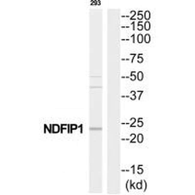 NDFIP1 Rabbit anti-Human, Mouse, Rat, Polyclonal, Invitrogen 100 µL;