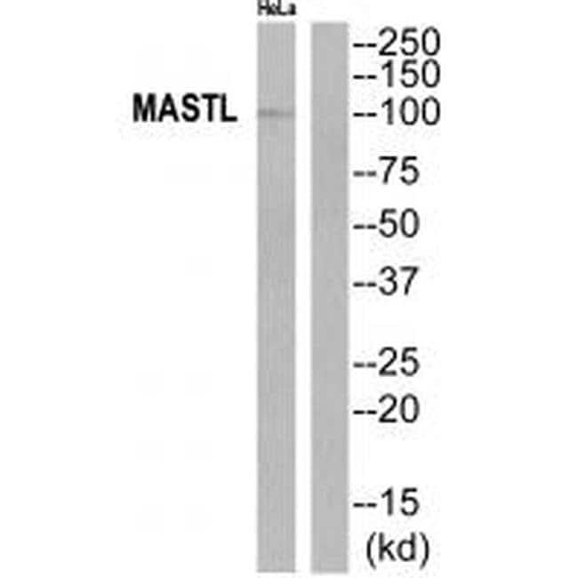 MASTL Rabbit anti-Human, Polyclonal, Invitrogen 100 µL; Unconjugated