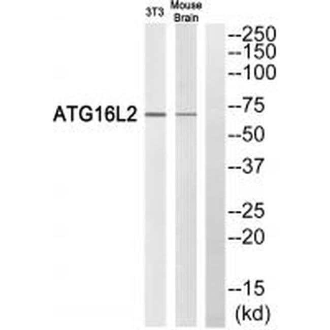 ATG16L2 Rabbit anti-Human, Mouse, Polyclonal, Invitrogen 100 µL; Unconjugated