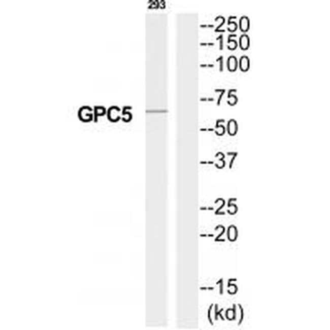 Glypican 5 Rabbit anti-Human, Mouse, Rat, Polyclonal, Invitrogen 100 µL;