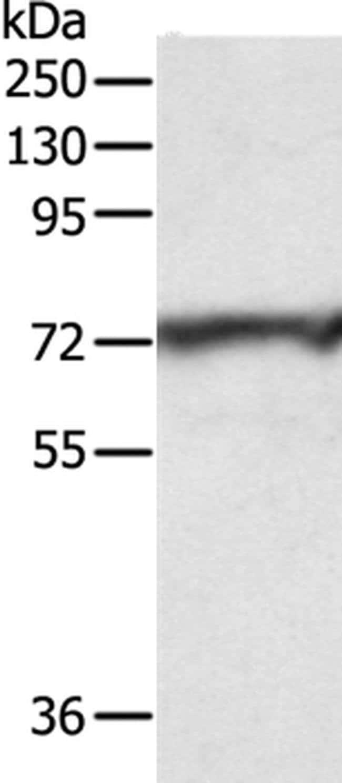 CNNM3 Rabbit anti-Human, Mouse, Polyclonal, Invitrogen 100 µL; Unconjugated