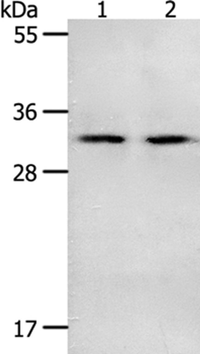 NME6 Rabbit anti-Human, Mouse, Polyclonal, Invitrogen 100 µL; Unconjugated