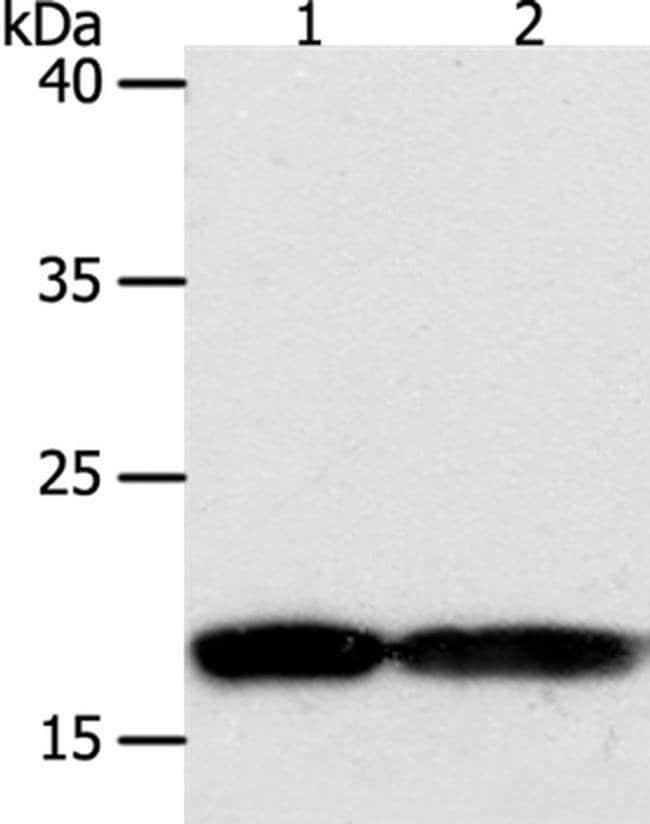 PDCD6 Rabbit anti-Human, Polyclonal, Invitrogen 100 µL; Unconjugated