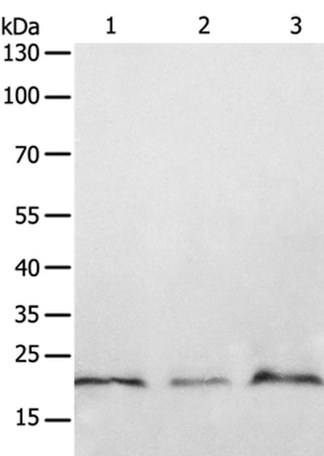 PTP4A2 Rabbit anti-Human, Mouse, Rat, Polyclonal, Invitrogen 100 µL;