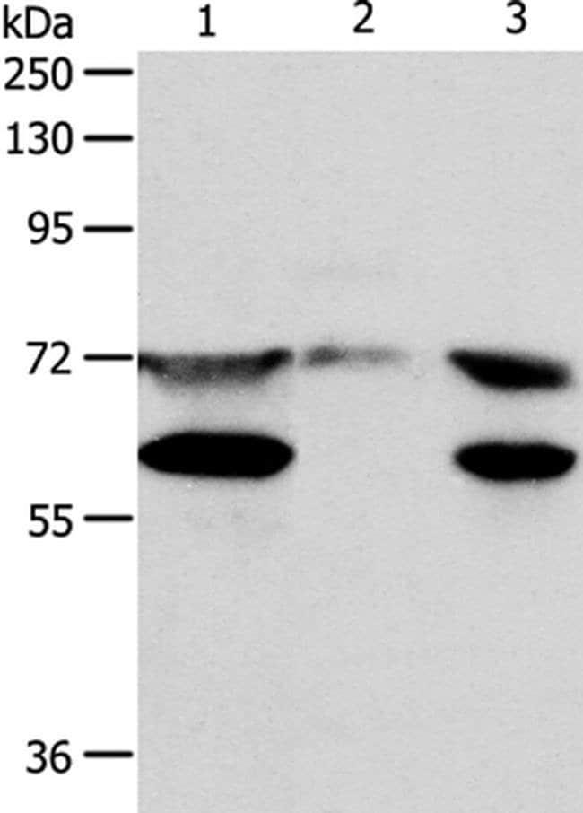 SPDL1 Rabbit anti-Human, Mouse, Polyclonal, Invitrogen 100 µL; Unconjugated