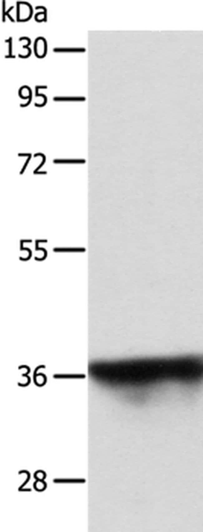 SPATA2L Rabbit anti-Human, Polyclonal, Invitrogen 100 µL; Unconjugated