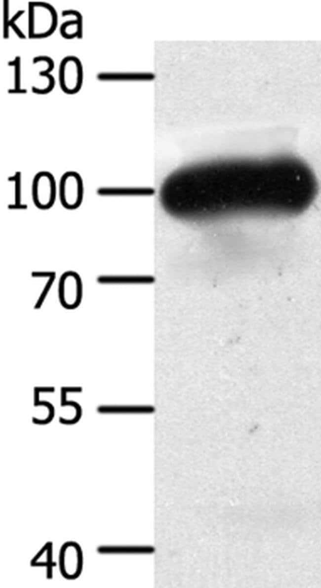 MAP4K3 Rabbit anti-Human, Mouse, Polyclonal, Invitrogen 100 µL; Unconjugated